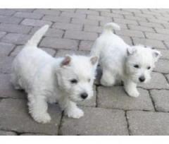 2 Stunning Chunky Kc Reg West Highland Terrier P
