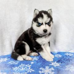 Two Gorgeous Siberian Husky Puppies Available