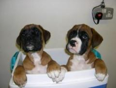 Kc Boxer Puppies For Sale