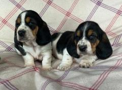 Kc Basset Hound Puppies For Sale