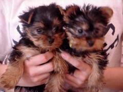 Healthy Male And Female Teacup Yorkie Puppies Re
