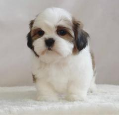 Reasonable Kc Shih Tzu Puppies For Sale