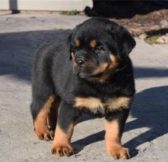 Kc Reg Rottweiler Puppies For Sale