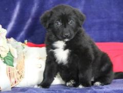 Ready Now Kc Registered Newfoundland Puppies For