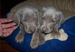 Purebred Weimaraner Puppies For Sale