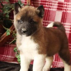 Playful Akita Puppies For Sale