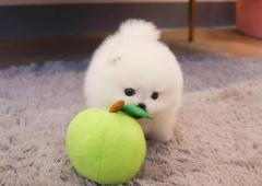 Beautiful Outstanding Pomeranian Puppies For Sal