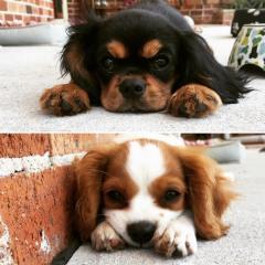King Charles Cavalier Spaniel Puppies For Adopti
