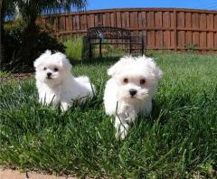 Registered Maltese Puppies Available Whatsapp