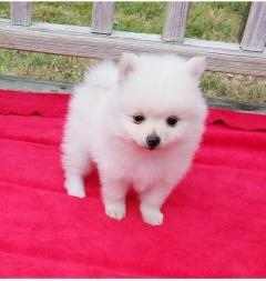 Boy & Girl Kc Pomeranians ..Whatsapp Me At 44741