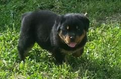 Rottweiler Girls And Boys For Sale..whatsapp Me