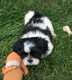 Adorable Shih Tzu Puppys..whatsapp Me At 4474183