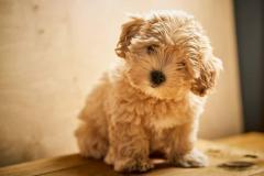 Adorable Maltipoo Puppies
