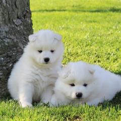Samoyed White Male And Female Puppies For Sale