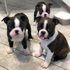 Smart Boston Terrier Puppies Available Now