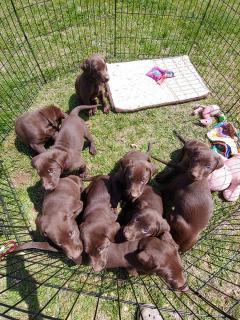 Purebred & Healthy Kc Chocolate Labrador Puppies