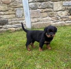 Quality Chunky Rottweiler Puppies