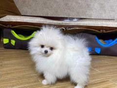 Lovely Pomeranian Puppies
