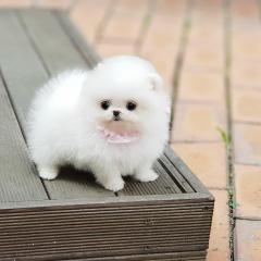 Teacup Size Pomeranian