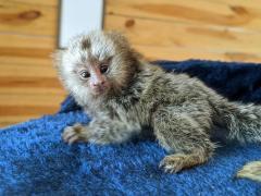 Cute Babies Pygmy Marmoset