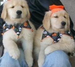 Healthy Male And Female Golden Retriever Puppies