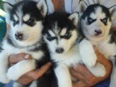 Beautiful Pure Siberian Husky Puppies