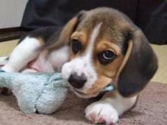 Stunning Beagle Puppies