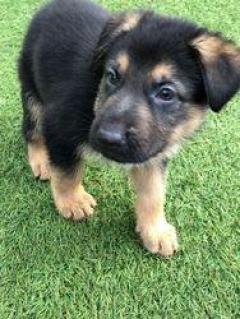 German Shepherd Puppies Availiable
