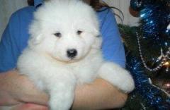 Reg Samoyed Puppies