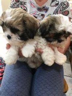 Imperial Shih Tzu Puppies