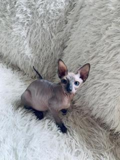 Sphynx And Bengal  Kittens Available For Adoptio