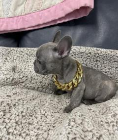 Well Trained French Bulldog Puppies