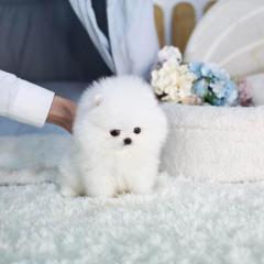 Gorgeous White Teacup Pomeranian Puppies For Sal