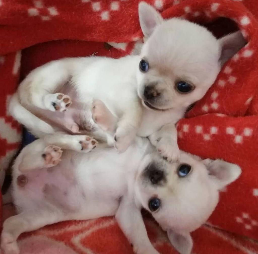 Chihuahua male and female 4 Image