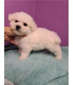 Pure Bred Bichon Frise Puppies For Sale