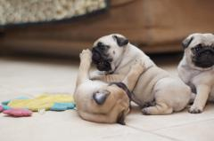 Well Socialized And Home Trained Pugs Puppies Re