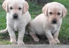 Cute Golden Retriever Pups For Adoption