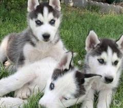 Awsome Siberian Husky Puppies