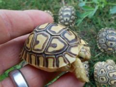 Turtles, Iguanas, Tortoises And Chameleons