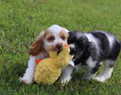 Male And Female Cocker Spaniel Puppies Available