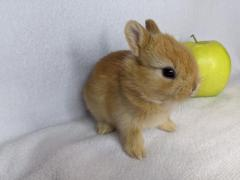 Pure Mini Netherland Dwarf Rabbits