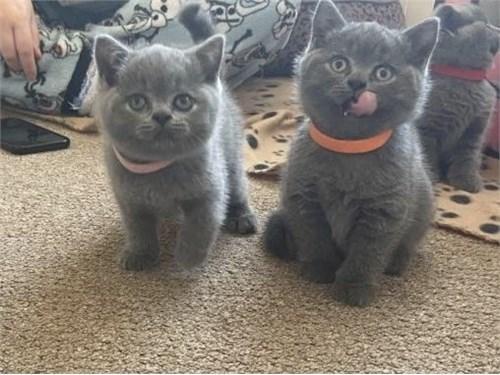 British Shorthair Kittens 3 Image