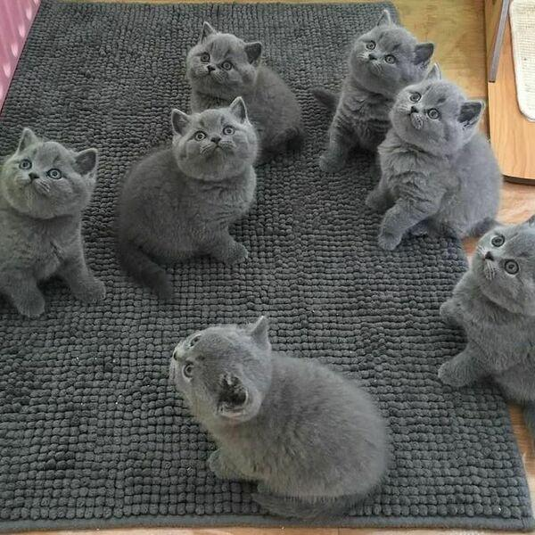 British Shorthair Kittens 4 Image