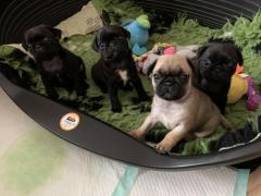 Adoring Pug Puppies