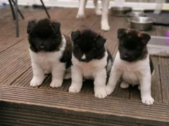 Stunning Akita Puppies