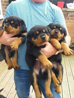 Awsome Rottweiler Puppies