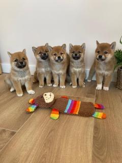 Adorable Shiba Inu Puppies