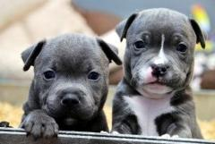 Adorable Staffordshire Bull Terrier Puppies Read