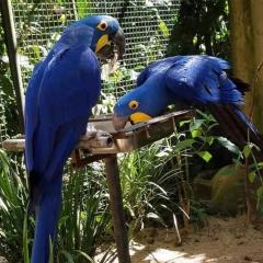 Pair Hyacinth Macaws