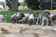 German Shorthaired Pointer Pedigree Puppies For